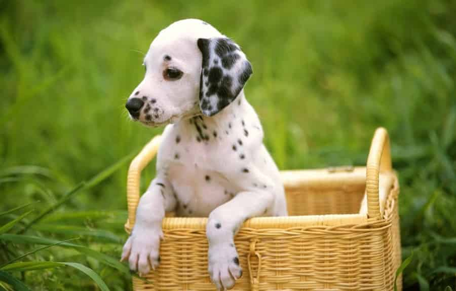 bigpreview_Dalmatians in the Basket